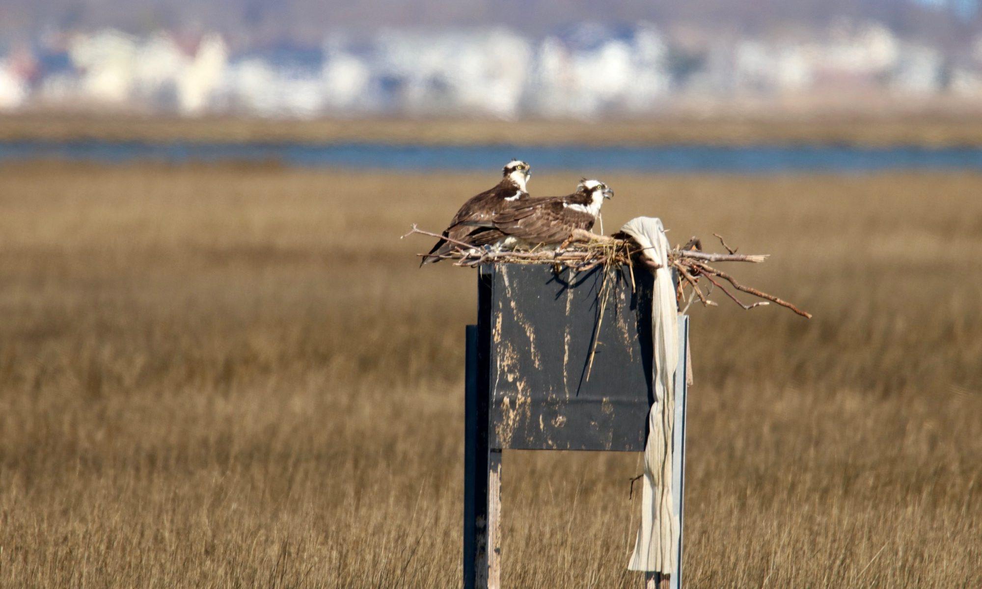 young osprey at gilgo beach